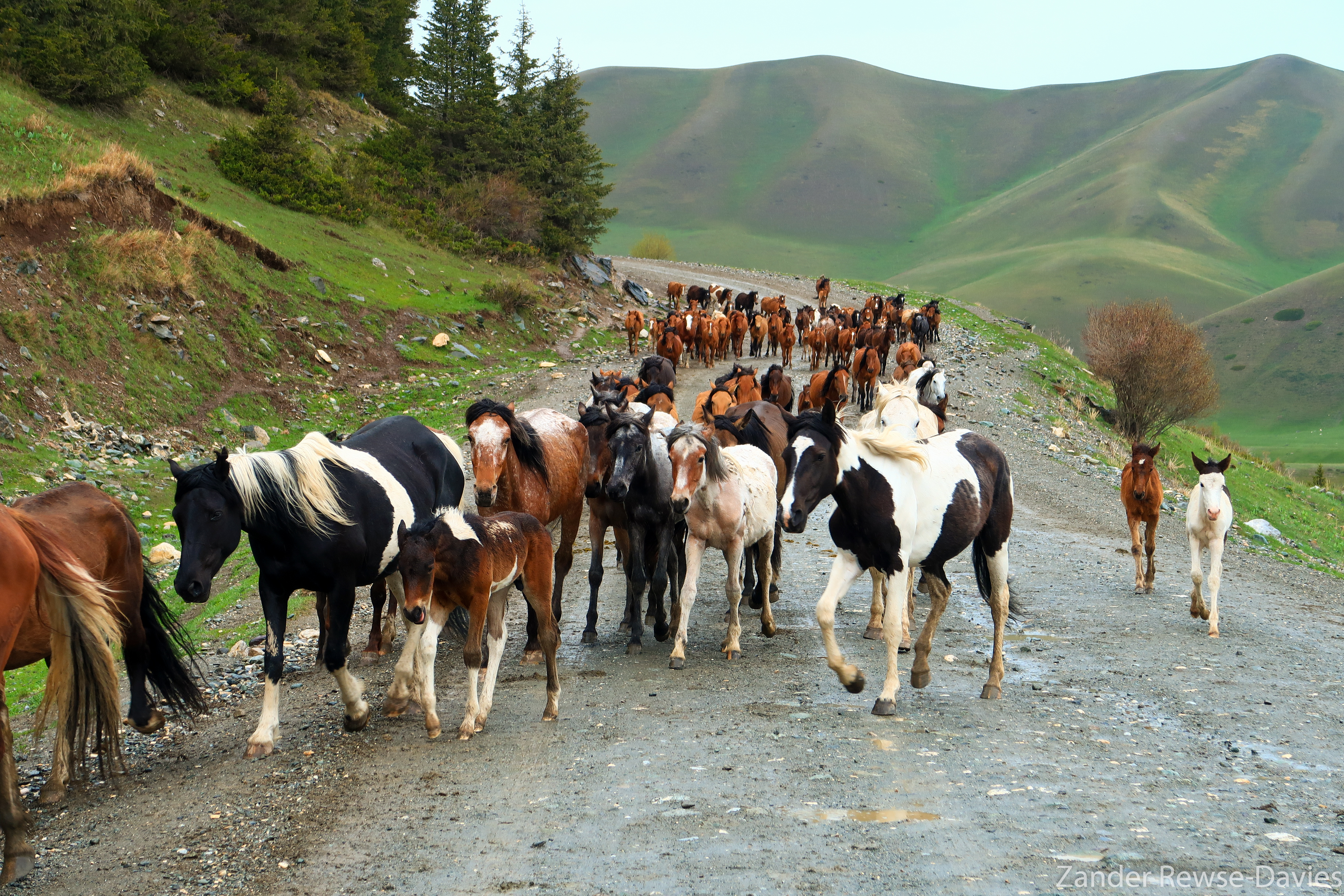 Kyrgyzstan semi-wild horses with foals